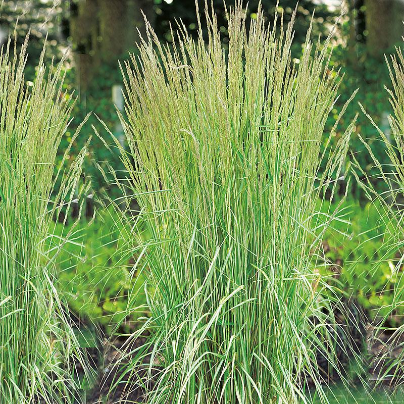 Calamagrostis acutiflora `Overdam´