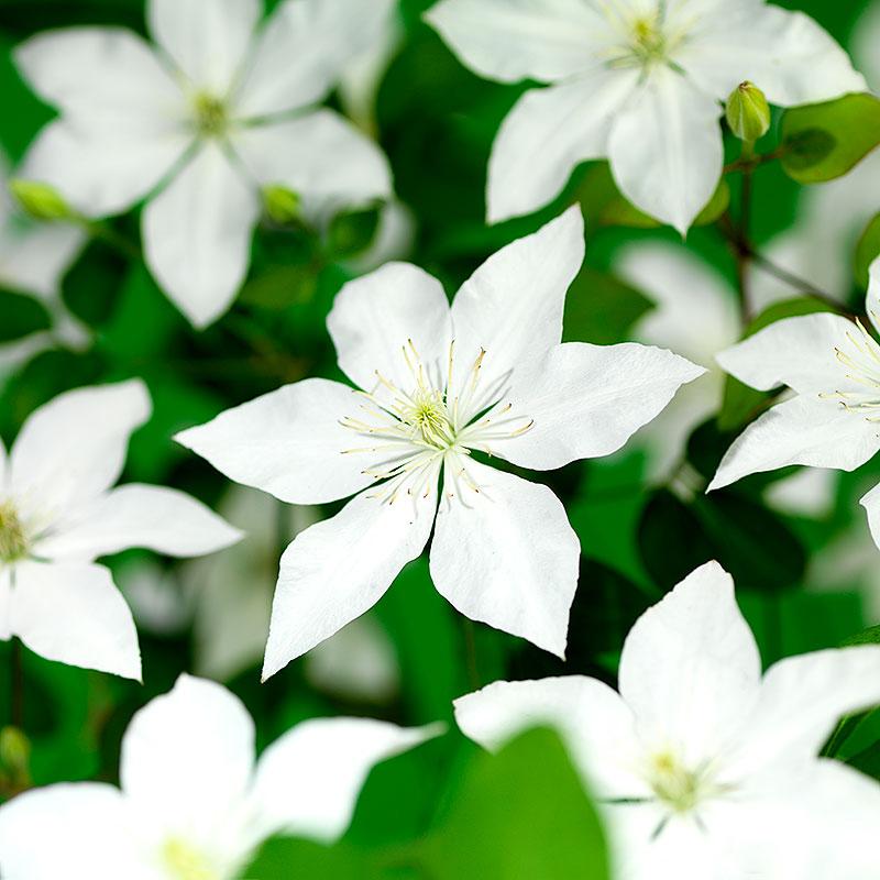 Klematis 'SoMany® White Flowers'