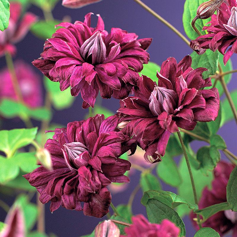 Klematis purpurea plena 'Elegans'