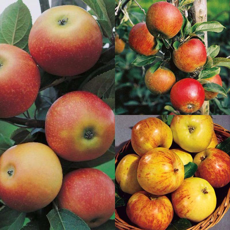 Familjeträd blandade äppelsorter