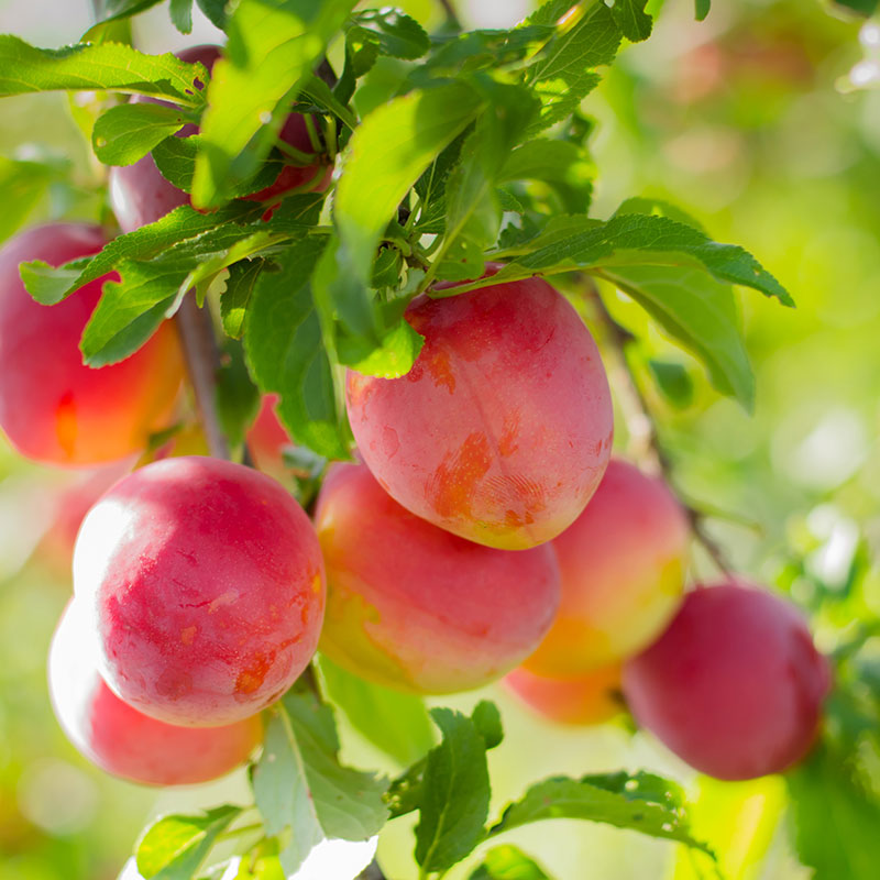 Fruktträd plommon 'Komet'
