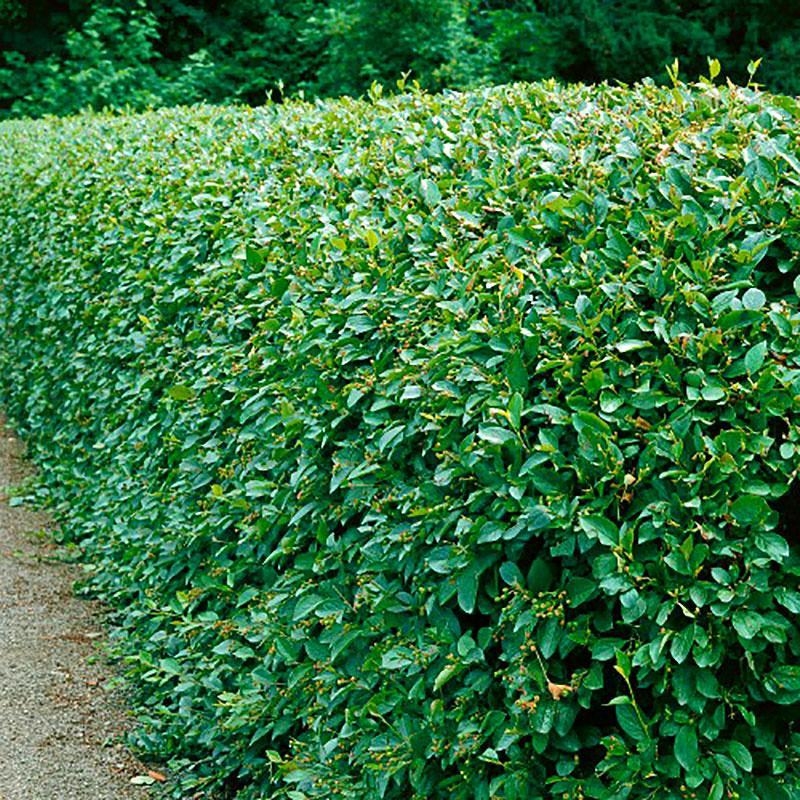 Häckoxbär Cotoneaster lucidus
