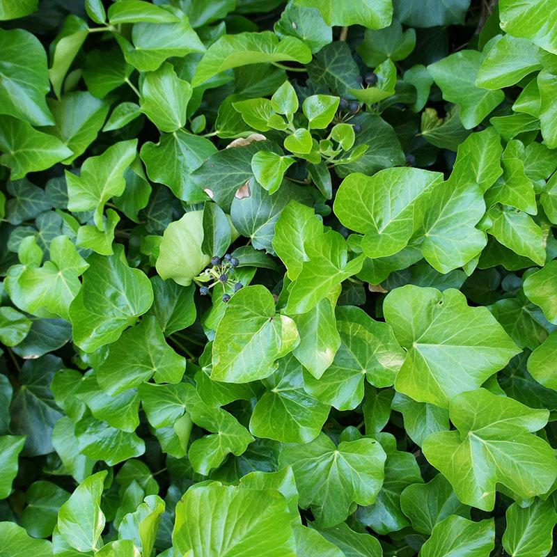 Murgröna, storbladig