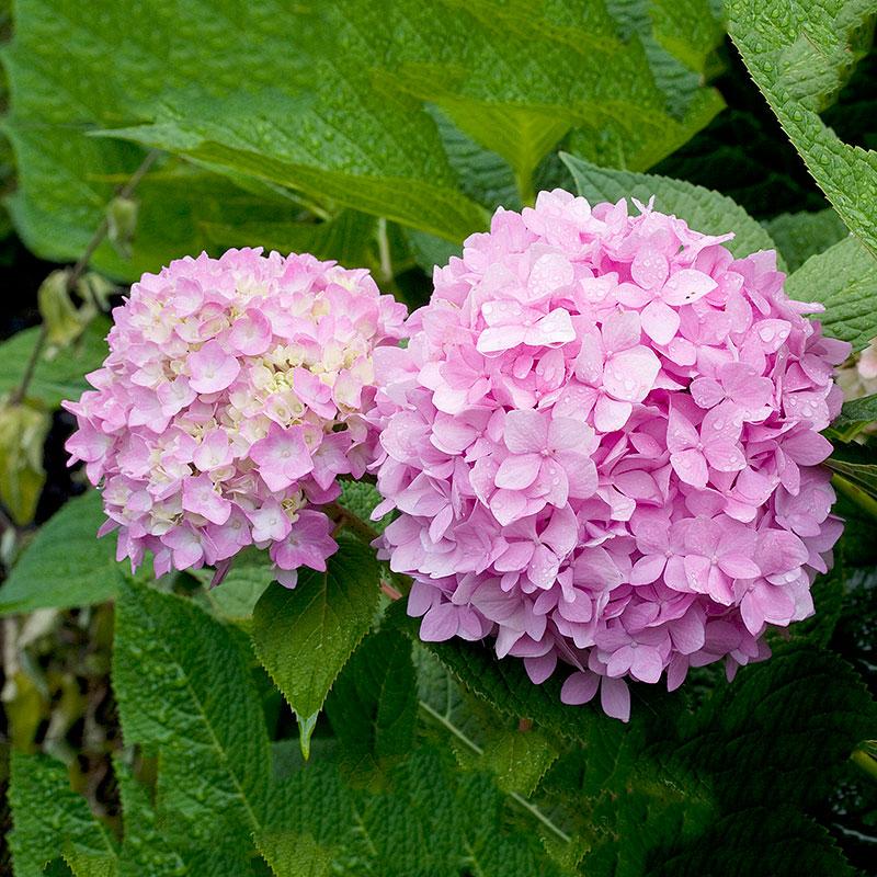 Hortensia 'Endless Summer', Hydrangea macrophylla