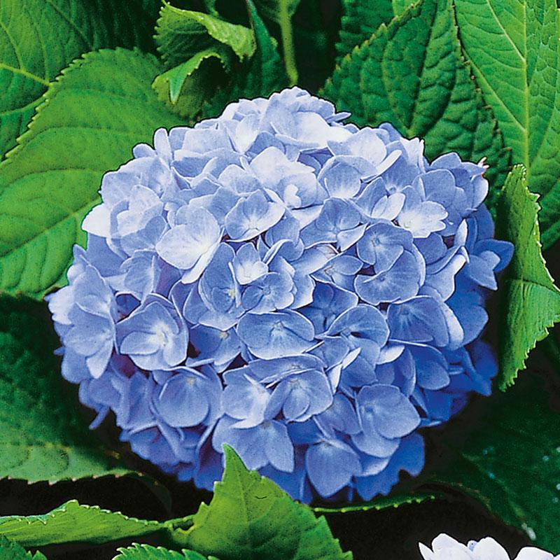 Hortensia 'Nikko Blue', Hydrangea macrophylla