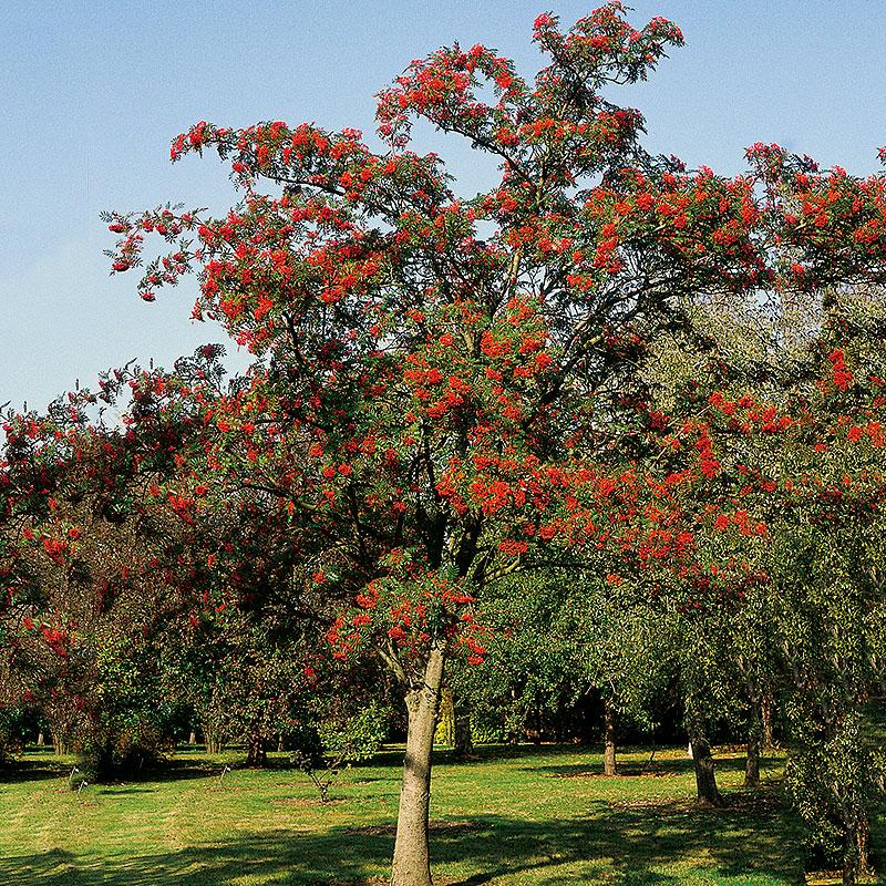 Japansk rönn, Sorbus com 'Carmencita' E