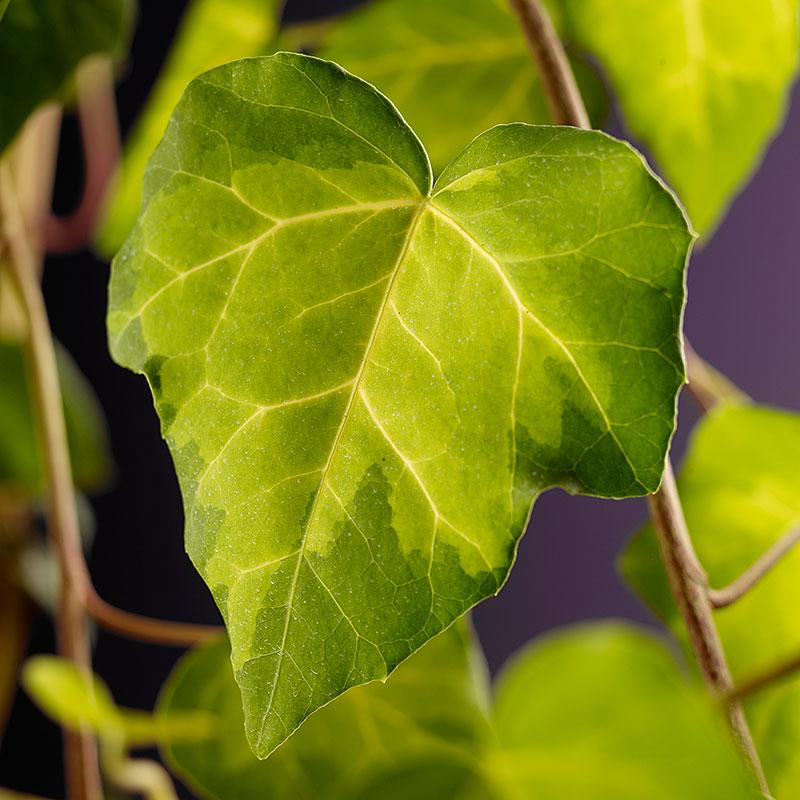 Murgröna 'Sulphur Heart'