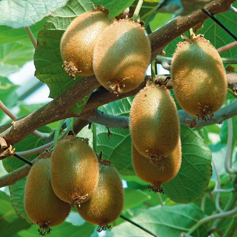 Kiwi 'Jenny' Actinidia deliciosa (chinensis)