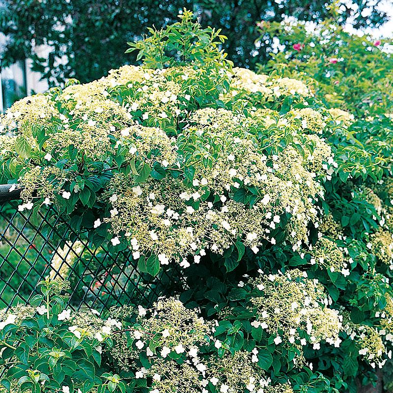 Klätterhortensia Hydrangea anomala ssp petiolaris