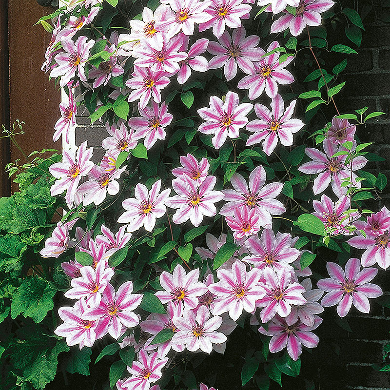 Klematis, Clematis Nelly Moser