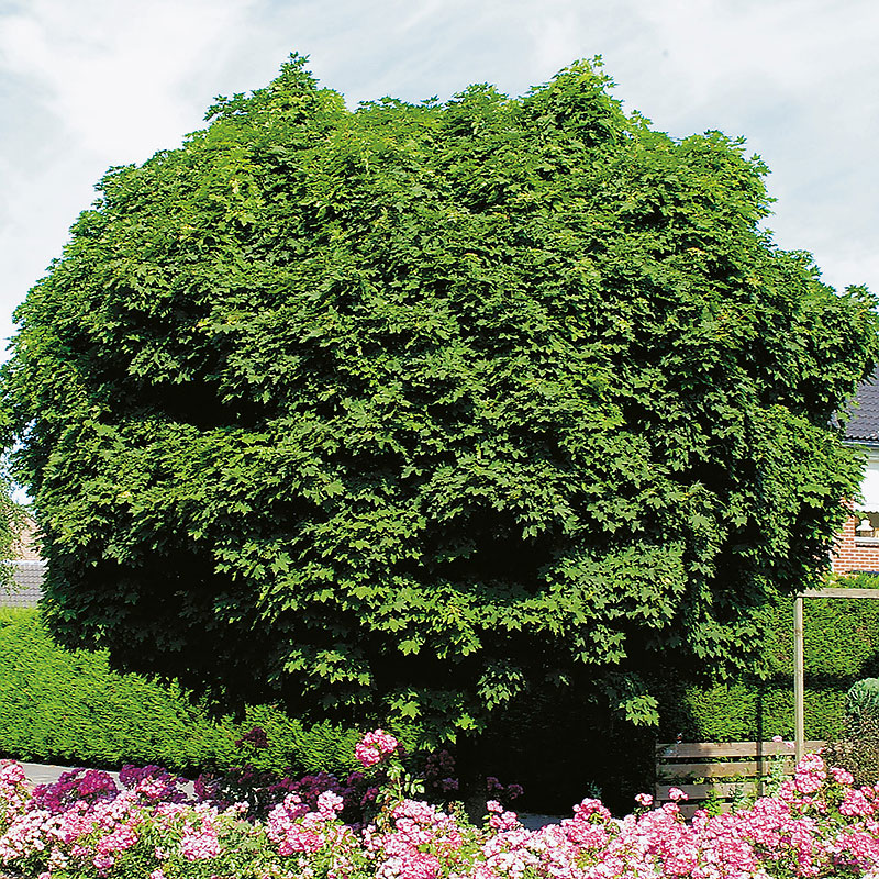 Klotlönn, Acer plantanoides 'Globosum'