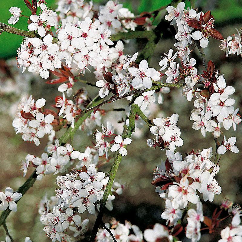 Körsbärsplommon, Prunus Cerasifera