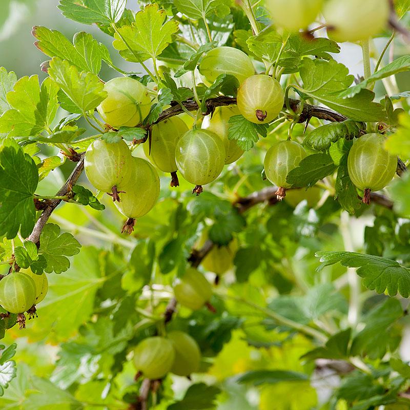 Krusbär 'Hinnonmäki  Gul' Ribes uva-crispa