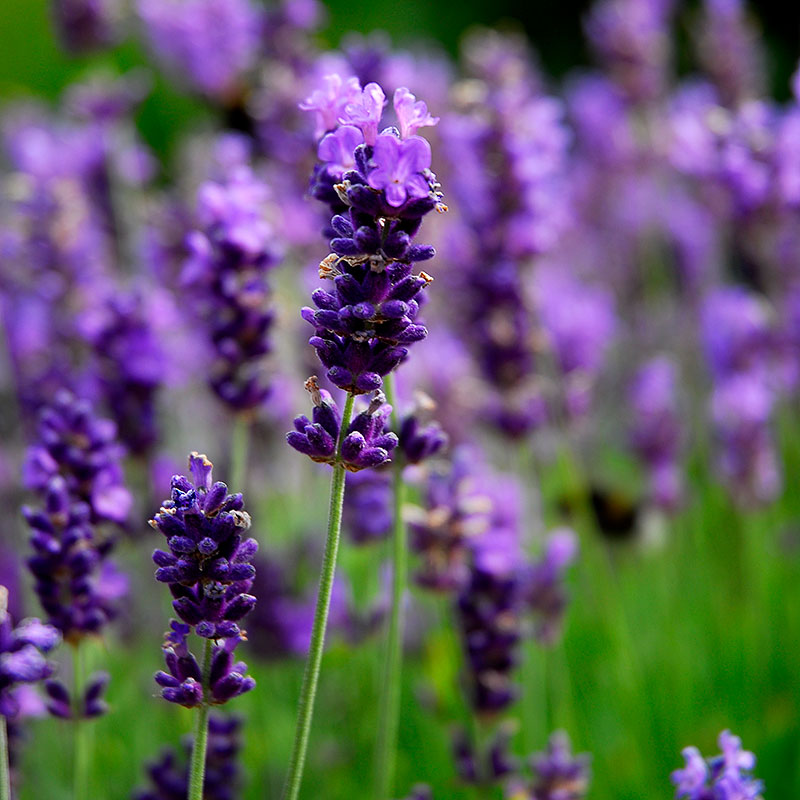 Lavendel 'Hidcote Blue' i rabatt