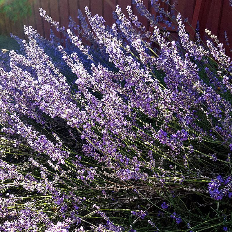 Lavendel, Lavandula 'Munstead'