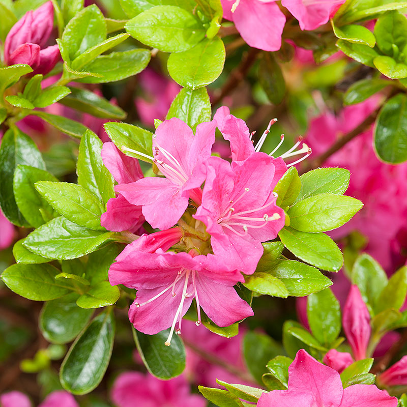 Närbild på blomma Rhododendron 'Kermesina' (Japansk azalea)