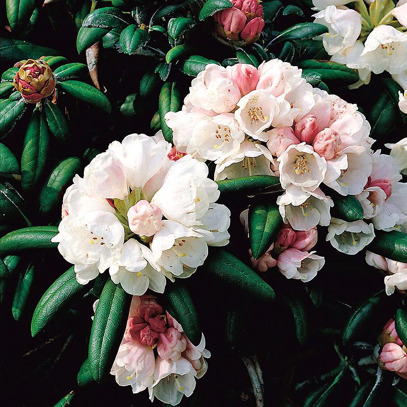 Närbild blomma Rhododendron 'Koichiro Wada'