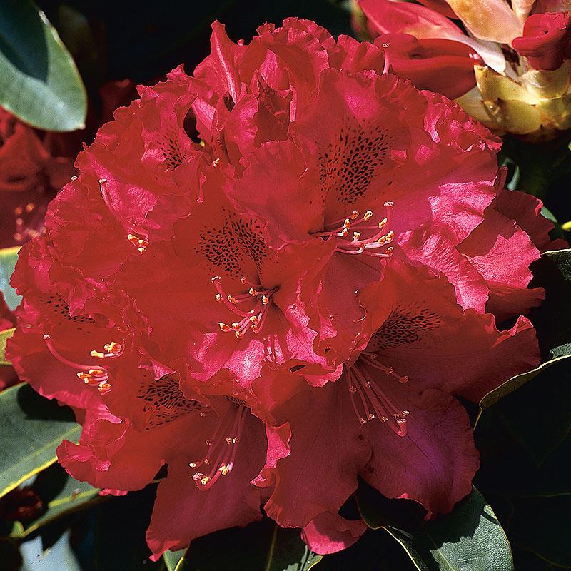Närbild Rhododendron 'Nova Zembla'