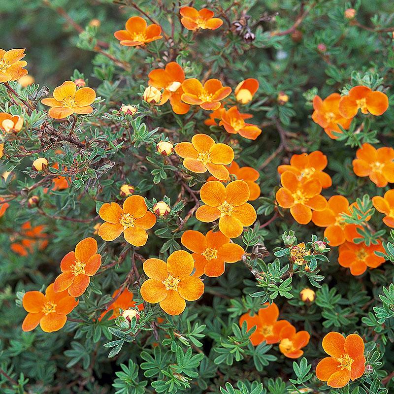 Ölandstok 'Hopleys Orange',  Potentilla fruticosa Hopleys Orange