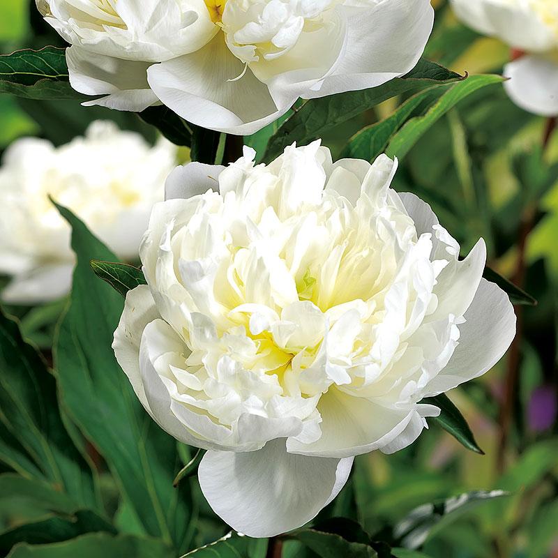 Paeonia lactiflora `Duchesse de Nemours´