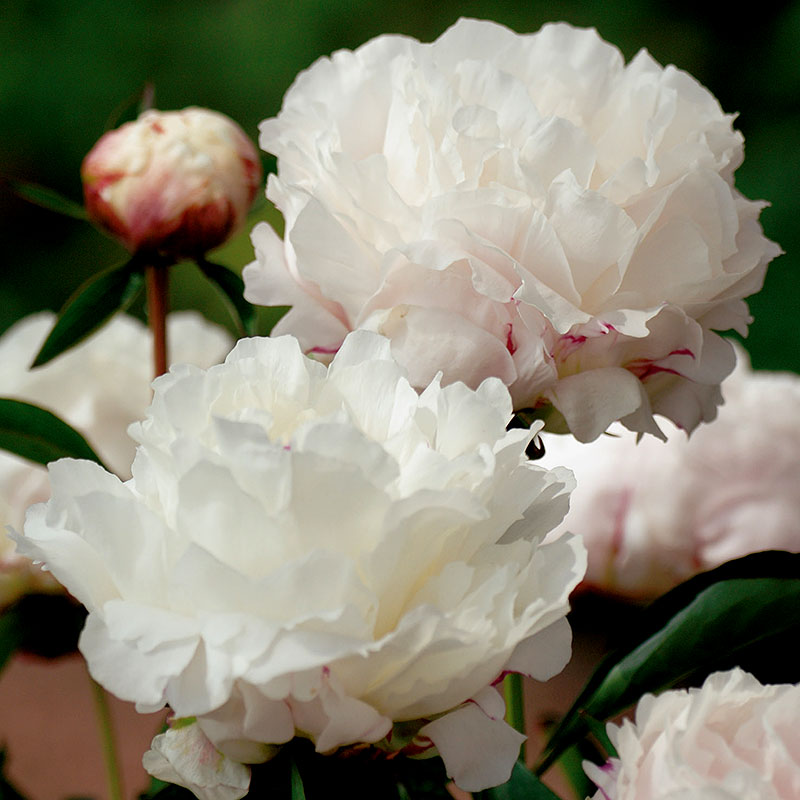 Paeonia lactiflora `Shirley Temple´