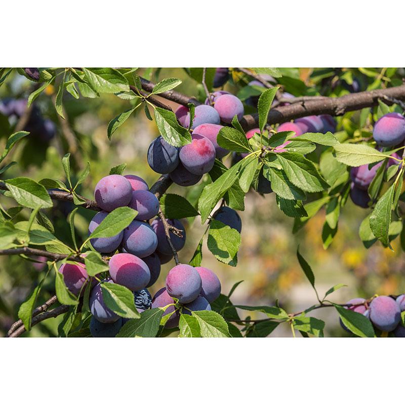 Plommon, Prunus domestica 'Czar'