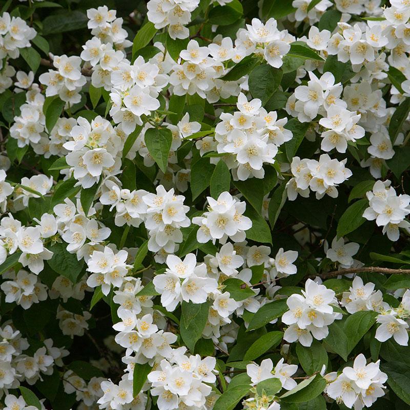 Blommor på prydnadsbuske av doftschersmin