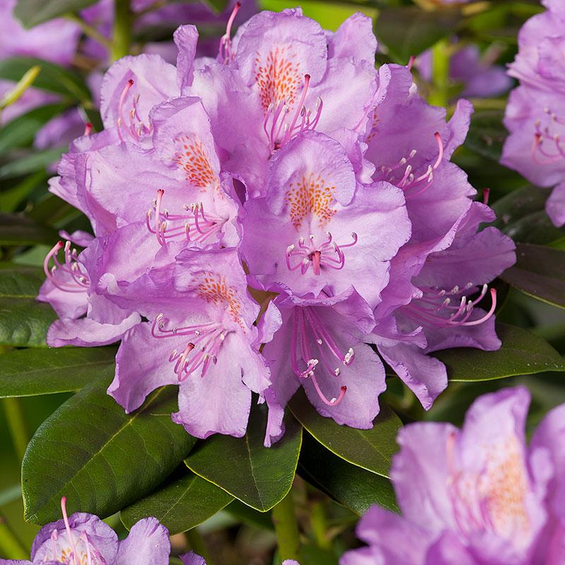Rhododendron 'Catawbiense Gradiflorum' 50-60cm