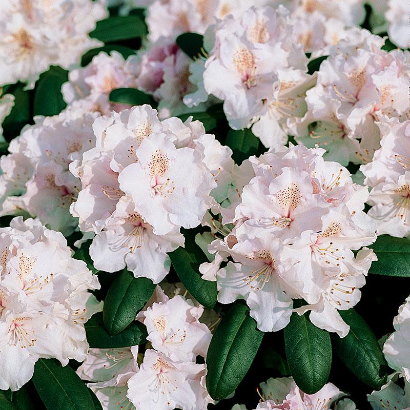Rhododendron 'Schneekrone'
