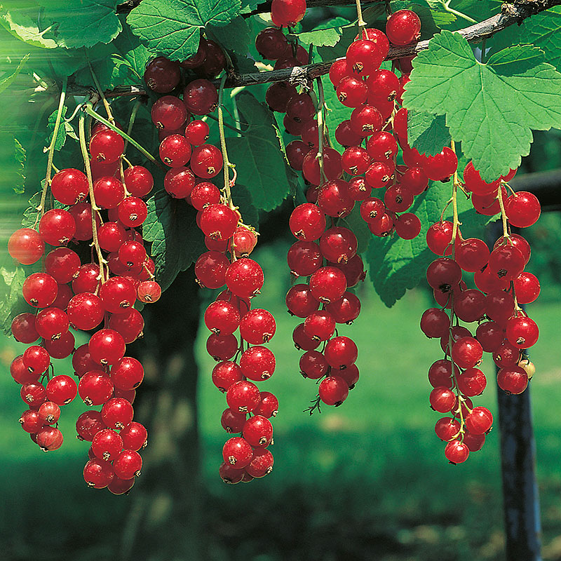 Röda vinbär 'Jonkheer van Teets' Ribes rubra
