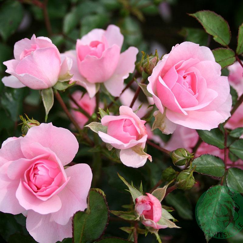 Rosa 'Bonica'