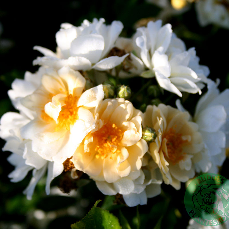 Rosa 'Helenae Hybrida'