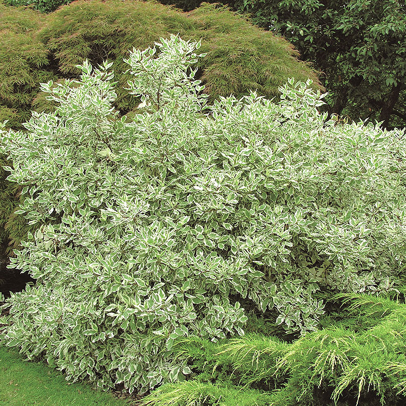 Rysk kornell 'Eligantissima', Cornus alba Elegantissima