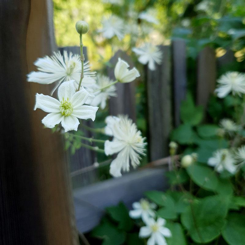 Skira vita blommor i närbild Klematis Paul Farges