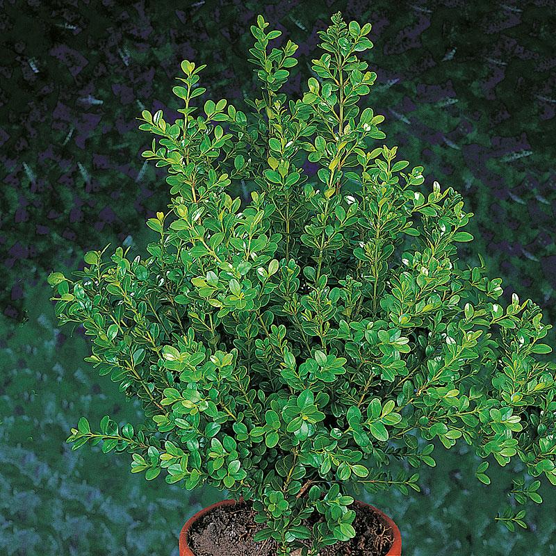 Småbladig buxbom 'Faulkner', Buxus microphylla (sem) Faulkner