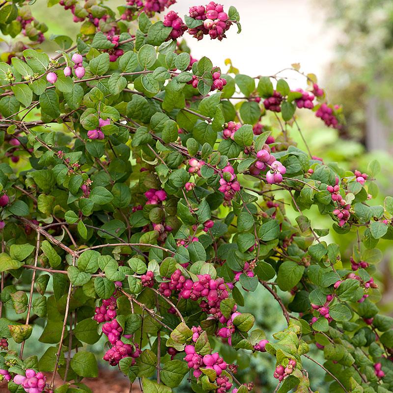 Snöbär 'Magic berry', Symphoricarpos door. Magic Berry