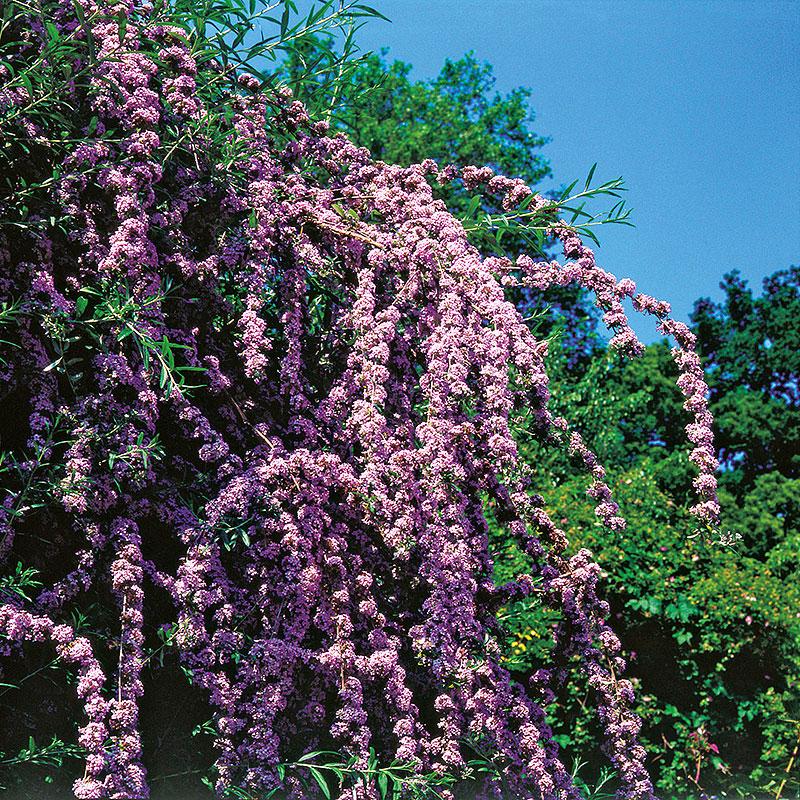 Sommarbuddleja,  Buddleja alternifolia