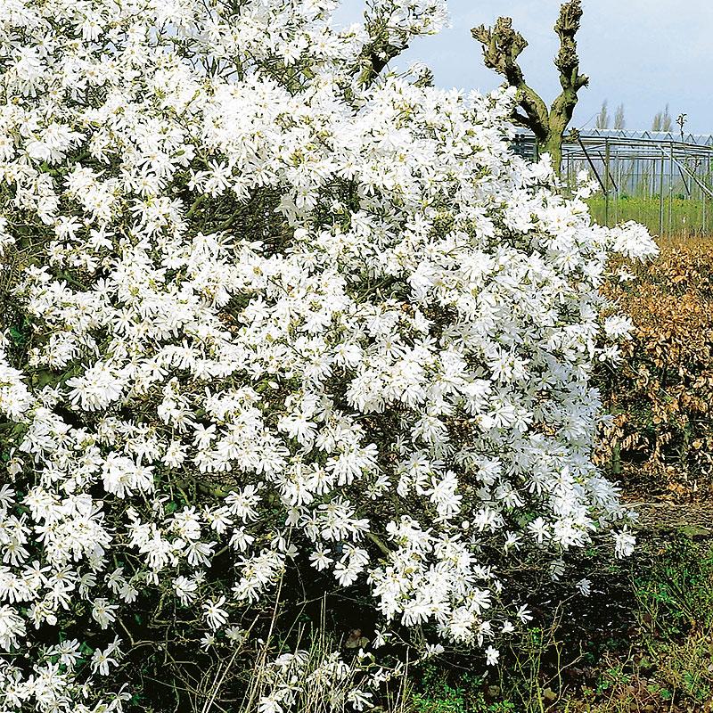 Stjärnmagnolia 'Royal Star', Magnolia stellata Royal Star