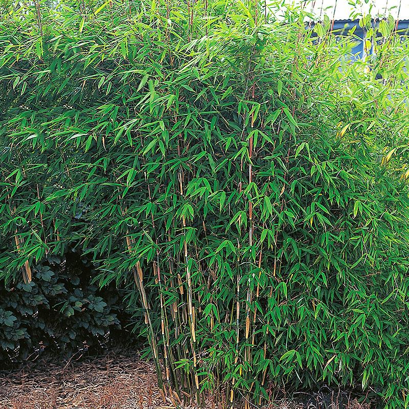 Bergbambu 'Panda',  Fargesia murieliae