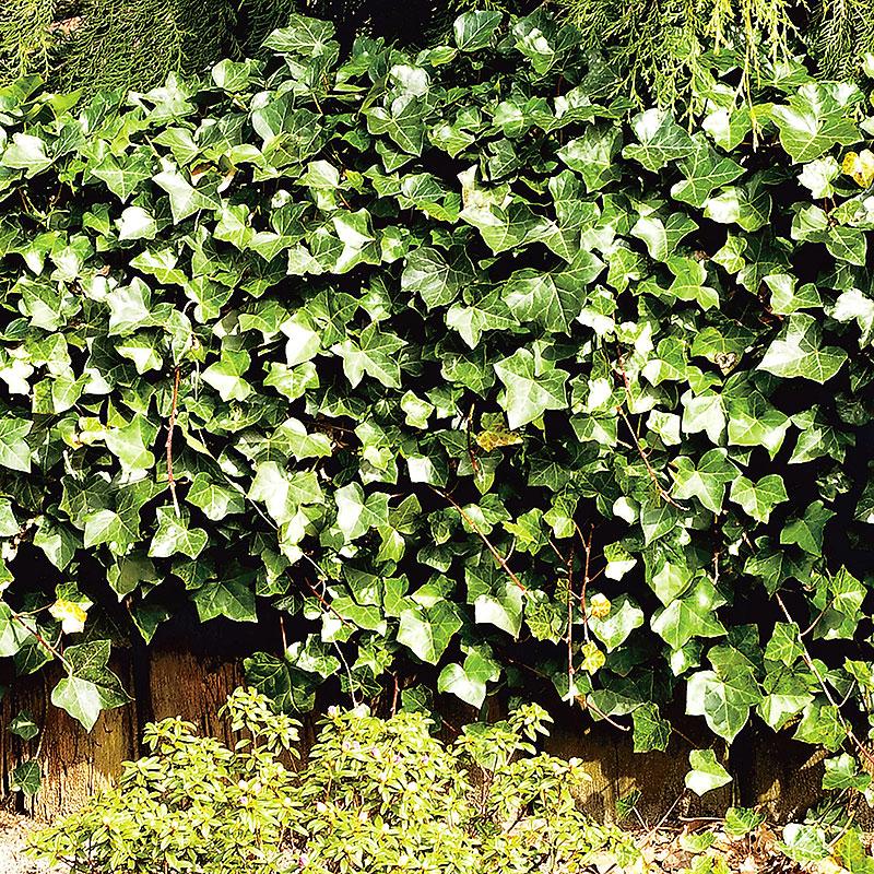 Storbladig murgröna Hedera hibernica
