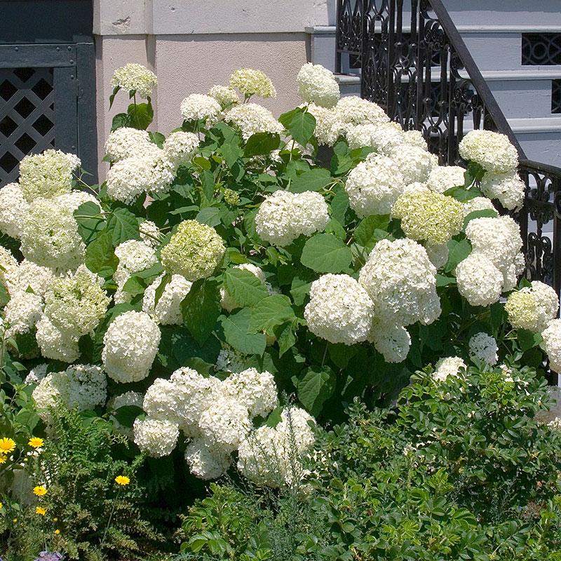 Vidjehortensia 'Annabelle', Hydrangea arborescens Annabelle