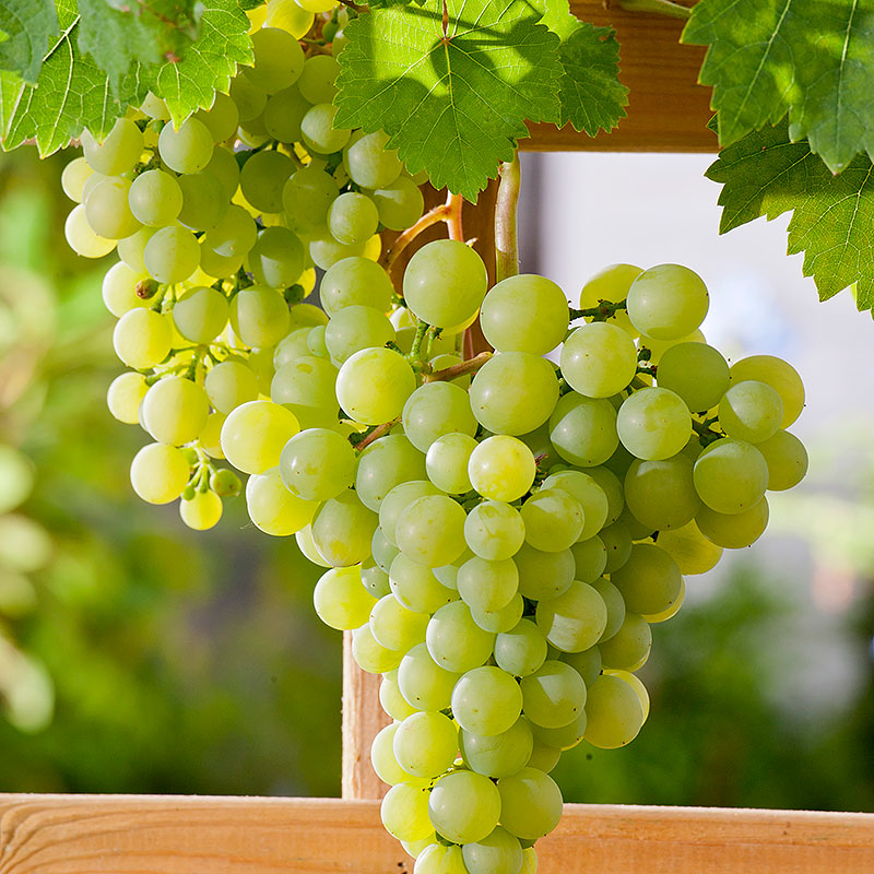 Vindruva 'Dr. Schmidtmanns Sockerdruva' Vitis vinifera
