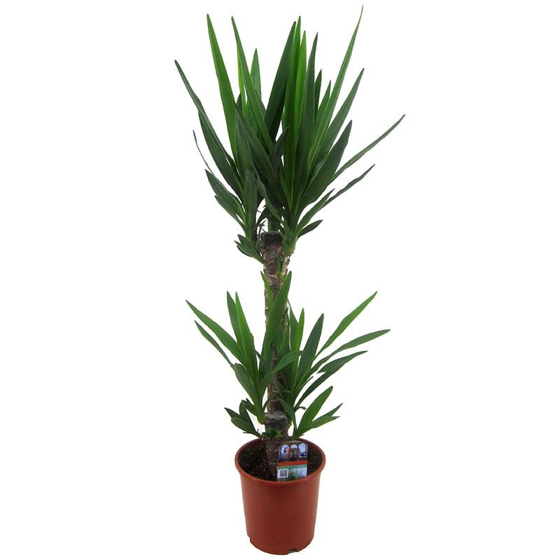 Yuccapalm, Yucca, 2 stammar