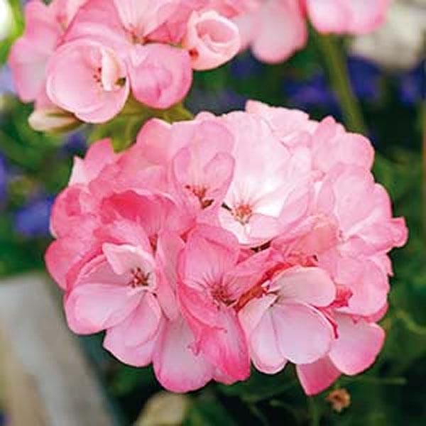 frö till Pelargon Inspire Pink F1, rosa