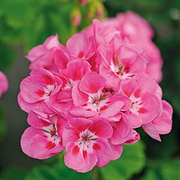 frö till Pelargon Lustre, Deep pink