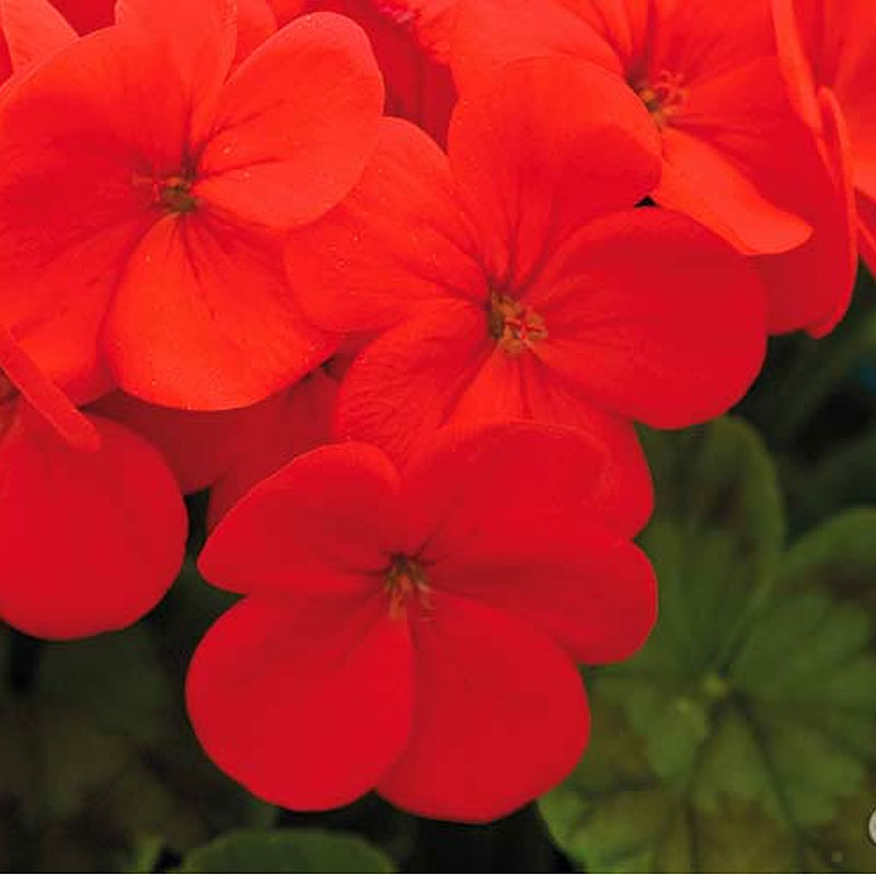 frö till Pelargon Lustre, red