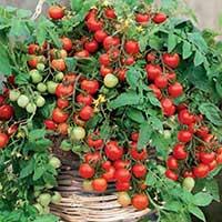 Ampeltomat 'Gartenperle'