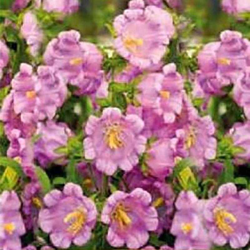 Frö till Mariaklocka Canterbury Bell Pink