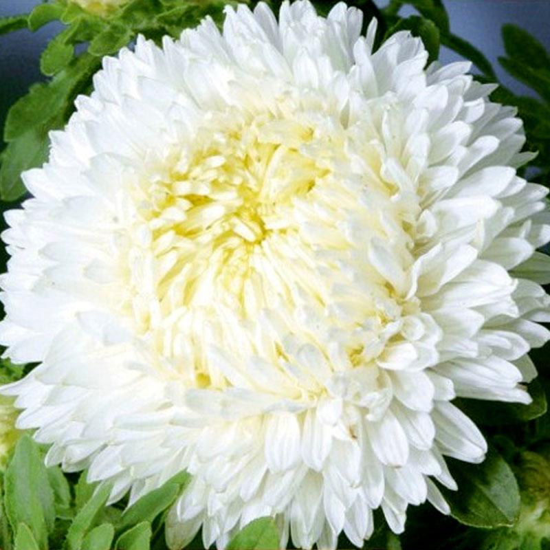 Frö till Aster - Paeony, white