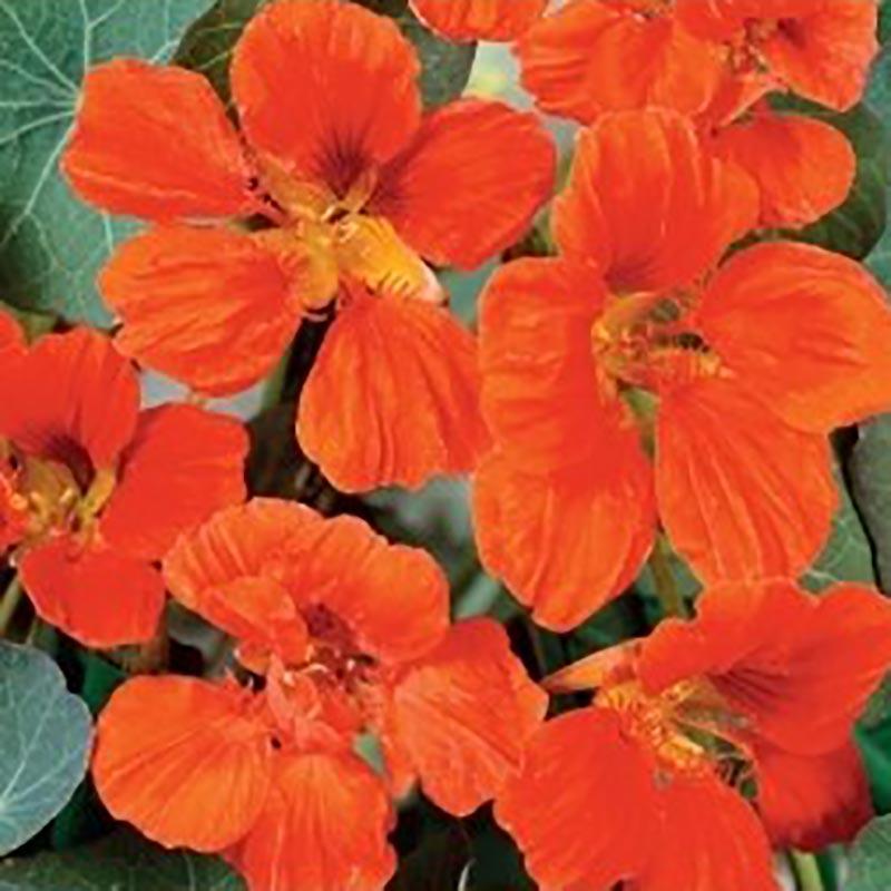 Frö till Klätterkrasse - orange